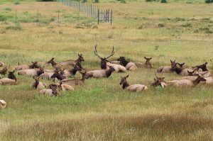 Sure enough, a nice group of elk, bedded down for the day